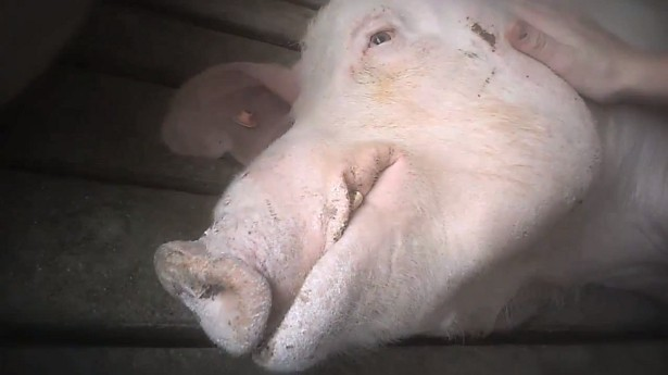 Pig in slaughterhouse comforted by animal activist